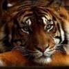 tigra1lav